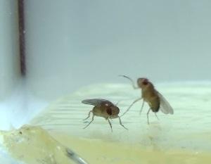 fighting flies closeup