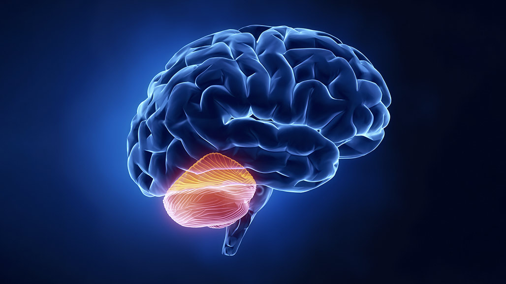 Cerebellum Good for More than Moving You Around | Dana ...