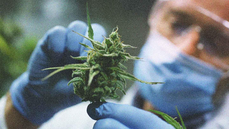 The Marijuana Debate Dana Foundation