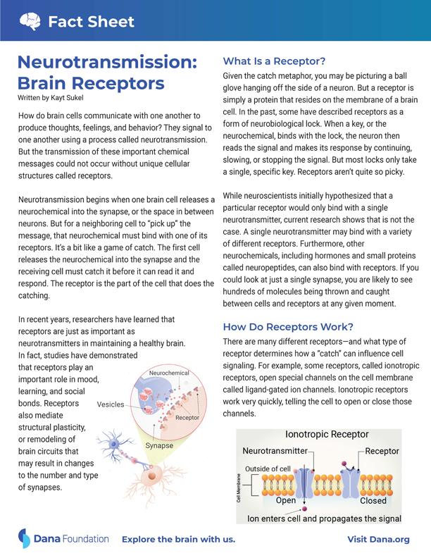 Neurotransmission: Brain Receptors