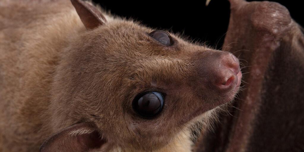 close-up of Egyptian fruit bat