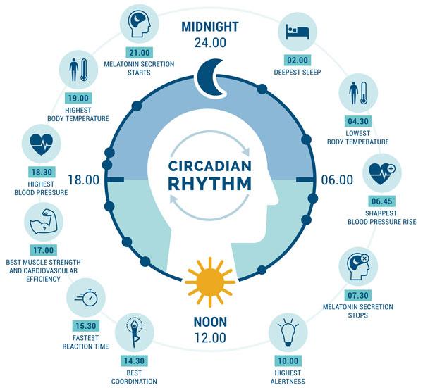 cartoon circle showing typical circadian rhythms